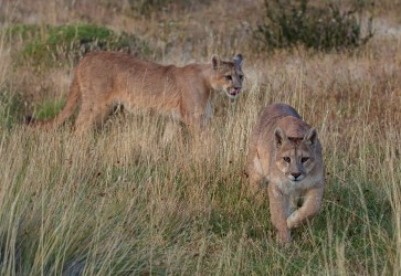 AI6I2681 Puma Rupestre Cubs Torre del Paine Southern Chile