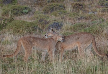 AI6I2693 Puma Rupestre Cubs Torre del Paine Patagonia Southern Chile