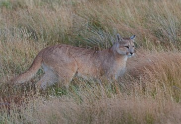AI6I2706 Puma Rupestre Cubs Torre del Paine Patagonia Southern Chile
