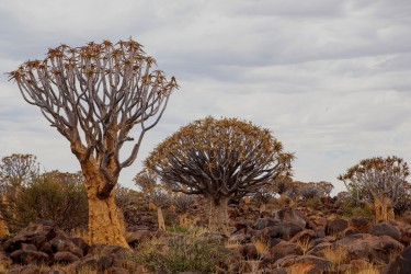 8R2A4778 Quivertree Forest Namibia