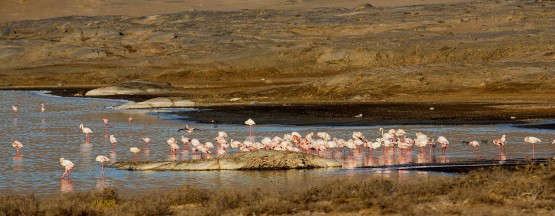 8R2A5121 Flamingos Lagoon at Lu  deritz Southwest Namibia
